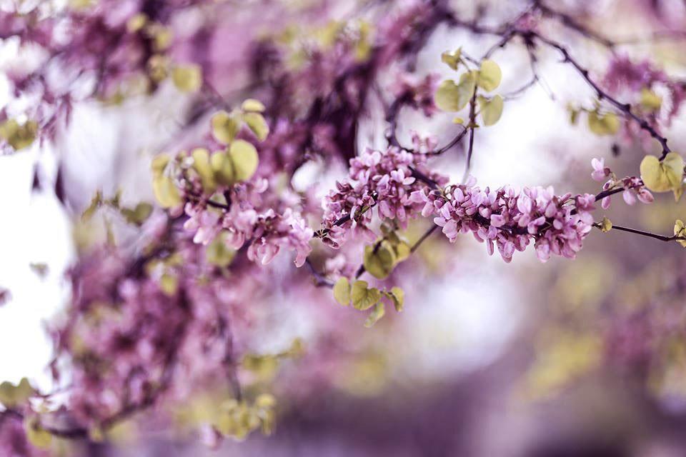 amandier fleurs